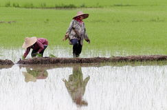 Farmer working on paddy field. Stock Images