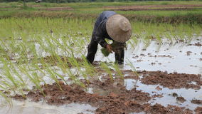 Farmer working on the paddy rice farmland. stock footage