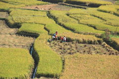 Farmer Working at Paddy Rice Field . Royalty Free Stock Photography