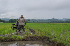 Farmer working planting rice in the paddy field Stock Image