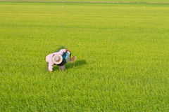 Farmer working in the rice field Stock Photography