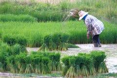 Farmer working on rice field Stock Photos