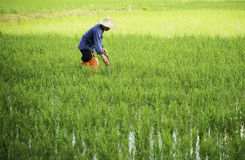 Farmer working in the rice field Stock Image