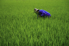 Farmer. Is working in rice field stock photography