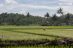 Farmer working in a rice field at daylight. Farmer at work in a rice field with bright blue sky in a sunny day stock image