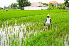 Farmer working on rice field Royalty Free Stock Images