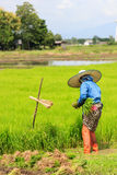 A farmer working rice plant  in farm of Thailand Royalty Free Stock Photography