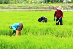 A farmer working rice plant  in farm of Thailand Royalty Free Stock Image