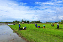 A farmer working rice plant  in farm of Thailand Stock Photos