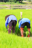 Farmer working rice plant  in farm of Thailand Royalty Free Stock Photography