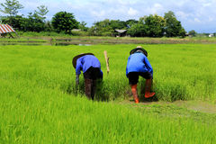 Farmer working rice plant  in farm of Thailand Stock Photos