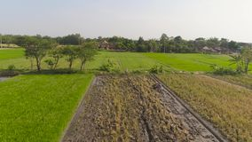Farmer in rice field indonesia. Farmer working in rice plantation using tiller tractor. aerial view paddy farmer prepares the land planting rice. farmland with stock video footage