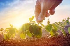 Farmer working in soybean field in morning Stock Photos