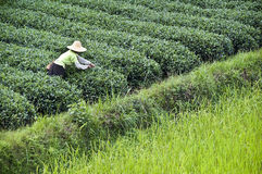 Farmer working in a tea field, Guangxi. China Royalty Free Stock Photography