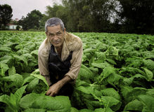 Farmer Working, Tobacco Fields, Vinales, Cuba Stock Images