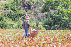 Farmer working in vegetable farm Stock Images