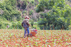 Farmer working in vegetable farm Royalty Free Stock Images