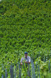 Farmer is working in a vineyard Stock Image