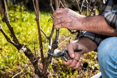 Farmer Works At Pruning In A Vineyard Royalty Free Stock Images