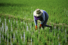 Farmer. She works in her plot to take care her rice stock image