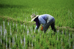 Farmer. She works in her plot to take care her rice royalty free stock images
