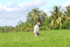 Farmer is working in the agricultural industry, Bali, Indonesia Royalty Free Stock Photography