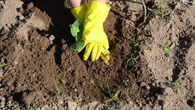 Farmer with yellow gloves planting cucumber seedling in ground Royalty Free Stock Photos