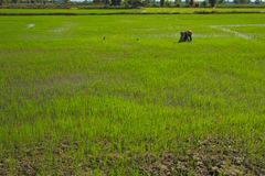 Farmers. Are planting rice in the northeast of Thailand royalty free stock photography
