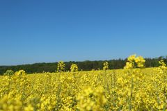 Farmers agricultural fields planted with yellow canola rapeseed Stock Photo