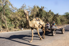 Farmers in a camel cart. Farmers sit on a camel cart on a road near Diu, Gujarat, India Royalty Free Stock Photo