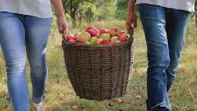 Farmers carry a full basket of apples. Closeup. A man and a woman are carrying a full basket of apples in the apple orchard. Close-up. Harvesting apples in the stock video