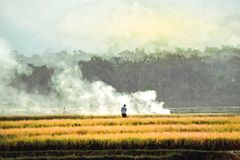 Farmers carry rice harvested in the villages in java stock photo