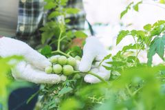 Farmers are checking the quality of agricultural products stock images