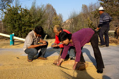 Farmers checking wheats on drying ground Royalty Free Stock Photo
