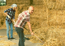 Farmers collecting hay with pitchforks Royalty Free Stock Photos
