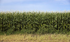 Farmers Corn Field Crop Under Blue Sky Produce Food Commodity Stock Images