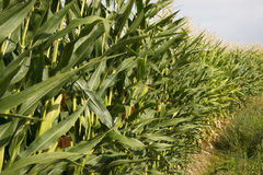 Farmers Corn Field Crop Under Blue Sky Produce Food Commodity Royalty Free Stock Photography