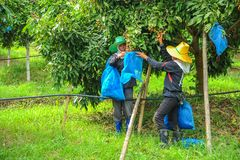 Farmers covering longan with plastic mesh bags Royalty Free Stock Photos