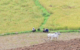 Farmers with cows on rice field in Tra Vinh, Vietnam Royalty Free Stock Photo