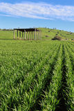Farmers Crops Agriculure. A farmers crops growing under the Australian sun Stock Image