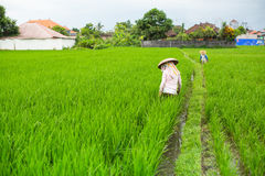 Farmers cultivate rice on a green field. Nature. Royalty Free Stock Image