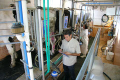 Farmers on dairy farm. Farmers milking cows on dairy farm Royalty Free Stock Photo