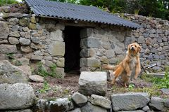 Farmers-dog on a leach. Farmers-dog attached at the roof of his shelter , built in the traditional style of the region, in the highlands of Vic-sur-Cere, France Stock Images