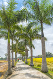 Farmers Driving On Roads Planted Trees Cuban Royal Palm Royalty Free Stock Image