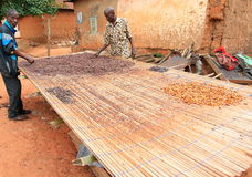 Farmers drying cacao seeds in Ghana, Africa. Bonwire village in Central Ghana, Africa. Two farmers spread seeds of cacao for drying on a bamboo platform. Ghana Royalty Free Stock Images