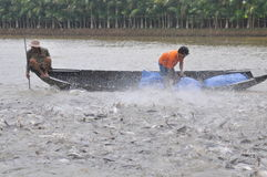 Farmers are feeding pangsius catfish in their pond in the mekong delta of Vietnam Stock Photos
