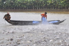 Farmers are feeding pangsius catfish in their pond in the mekong delta of Vietnam Stock Images