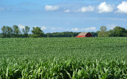 Farmers Field and Corn Crop. Corn crop with farm in background and blue sky Royalty Free Stock Image