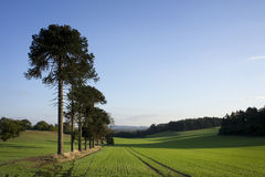 Farmers field with monkey puzzle trees Stock Image