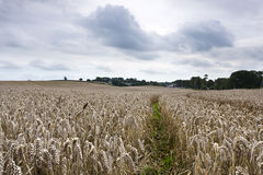 Farmers field with tractor tracks. A farmers crop with blue skys and clouds Royalty Free Stock Photos